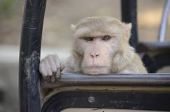 A skeptical look of a monkey. Stock Image