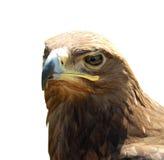 Skeptischer Adler des Porträts lokalisiert auf weißem Hintergrund Lizenzfreie Stockfotografie