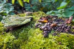 Skerodermie citrinum, Braunerdeballpilz wächst auf einem Stumpf, einem grünen Moos und einem alten Zunder, die falsch sind lizenzfreies stockbild