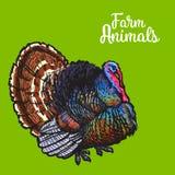 sketc farm turkey on a background Stock Image