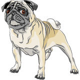 Sketch angry dog pug breed Stock Image