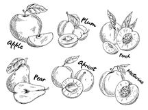 Sketch of apple and plum, pear and apricot. Sketches of fruits. Set of isolated sweet plum and vegan pear, vegetarian apple and sliced apricot, healthy nectarine Stock Photography