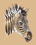 Sketch of a baby Zebra's face Royalty Free Stock Images