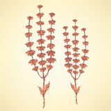 Sketch basil herb in vintage style Royalty Free Stock Photos