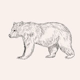 Sketch bear. Hand drawn  illustration isolated. Engraving Royalty Free Stock Image