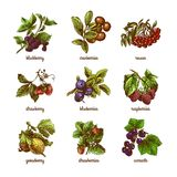Sketch berries colored set Stock Image