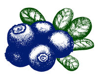 Sketch of blueberry Royalty Free Stock Image