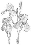 Sketch of bouquet of blooming irises stock illustration