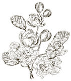 Sketch of Branch of spring flower Royalty Free Stock Images