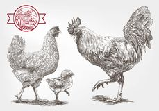 Sketch of brood-hen Royalty Free Stock Image