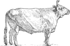 Sketch of a bull Royalty Free Stock Photo