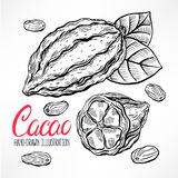 Sketch cacao beans Stock Images