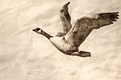 Sketch of a Canada Goose Flying with Wings Outstretched. Sketch of a Canada Goose Flying on White Background with Wings Outstretched royalty free stock images