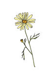 Sketch chamomile illustration Royalty Free Stock Images
