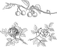 Sketch of cherries on a branch and roses Royalty Free Stock Photo