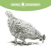 Sketch of chicken. poultry breeding. livestock. Sketch of chicken drawn by hand. poultry breeding. livestock Royalty Free Stock Image