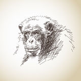 Sketch of chimpanzee Royalty Free Stock Image