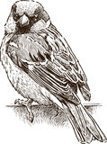 Sketch of a city sparrow Royalty Free Stock Photography