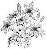 Sketch of clematis flowers Royalty Free Stock Photos