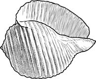 Sketch of a cockleshell. Vector drawing of a seashell Stock Photo