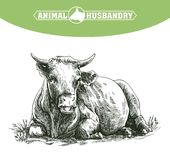 Sketch of cow drawn by hand. livestock. cattle. animal grazing Stock Image