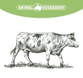 Sketch of cow drawn by hand. livestock. cattle. animal grazing Royalty Free Stock Image