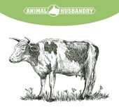 Sketch of cow drawn by hand. livestock. cattle. animal grazing Royalty Free Stock Photography