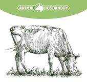Sketch of cow drawn by hand. livestock. cattle. animal grazing Royalty Free Stock Images