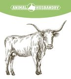 Sketch of cow drawn by hand. livestock. cattle. animal grazing Royalty Free Stock Photo