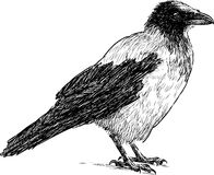 Sketch of a crow. Vector drawing of a big crow Royalty Free Stock Photo