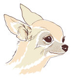 Sketch of cute Chihuahua hua dog Stock Photos