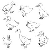 Sketch of ducklings Royalty Free Stock Photography