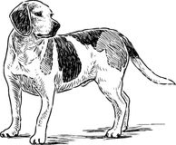 Sketch of an english beagle Royalty Free Stock Images