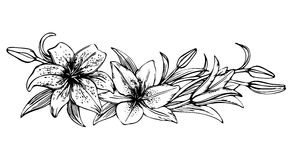 Sketch floral blooming lilies. Hand drawn illustration of lily flower. beautiful monochrome black and white lily frame Stock Images
