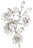 Sketch of flower carnation Royalty Free Stock Photos