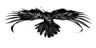 Sketch flying bird crow front view. Monochrome sketch flying bird crow front view royalty free stock images
