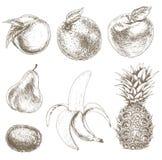 Sketch of fruit. Farm fruit. Sketch of farm fruit. Hand draw illustration of farm fruit. Farm fruit vector background. Organic farm food ingredient royalty free illustration
