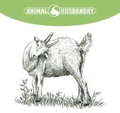 Sketch of goat drawn by hand. livestock. animal grazing Royalty Free Stock Photo