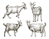 Sketch of goat drawn by hand. livestock. animal grazing. Sketch of goat drawn by hand on a white background. livestock. animal grazing royalty free illustration