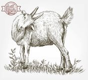 Sketch of goat drawn by hand. livestock. animal grazing Stock Photo