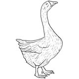 Sketch grey goose on a white background. Vector illustration. Stock Photo