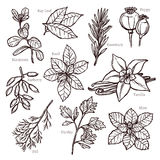 Sketch Herbs And Spice Collection Royalty Free Stock Photo