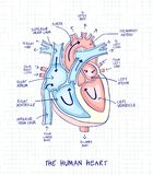 Sketch of human heart anatomy ,line and color on a checkered bac. Kground. Educational diagram with hand written labels of the main parts. Vector illustration Royalty Free Stock Photography