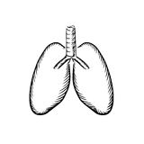 Sketch of human lungs with trachea Stock Photography