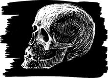 Sketch of human skull Stock Image