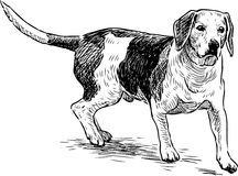 Sketch of a hunting dog Royalty Free Stock Images