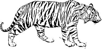 Sketch  illustration of tyger Royalty Free Stock Photo