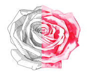 Sketch ink and watercolor rose Royalty Free Stock Image