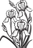 Sketch of iris flowers Royalty Free Stock Image
