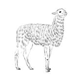 Sketch Lama Stock Photo